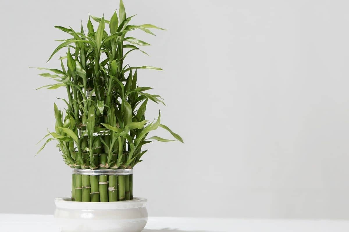 lucky bamboo houseplant, growing without soil