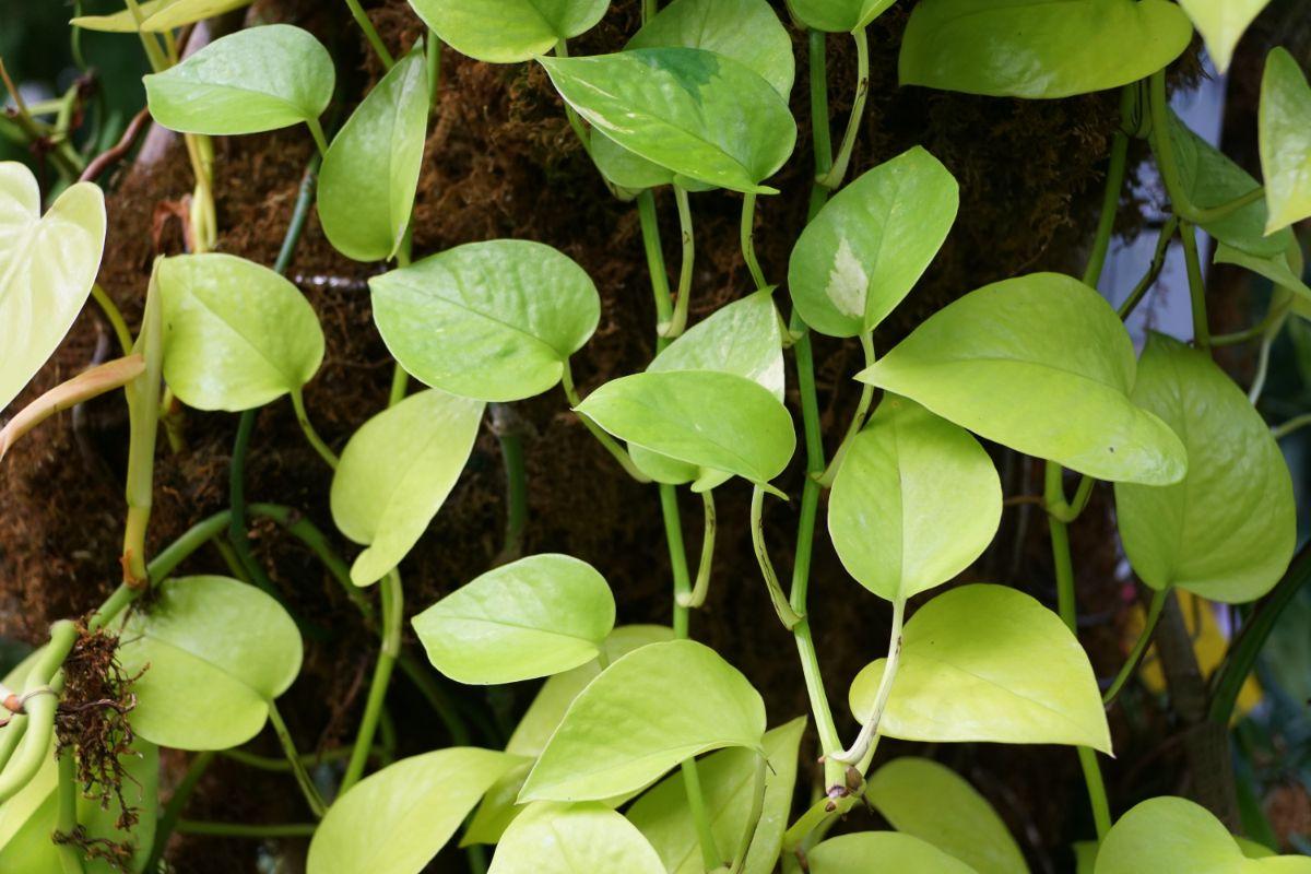 hanging Neon Pothos plant