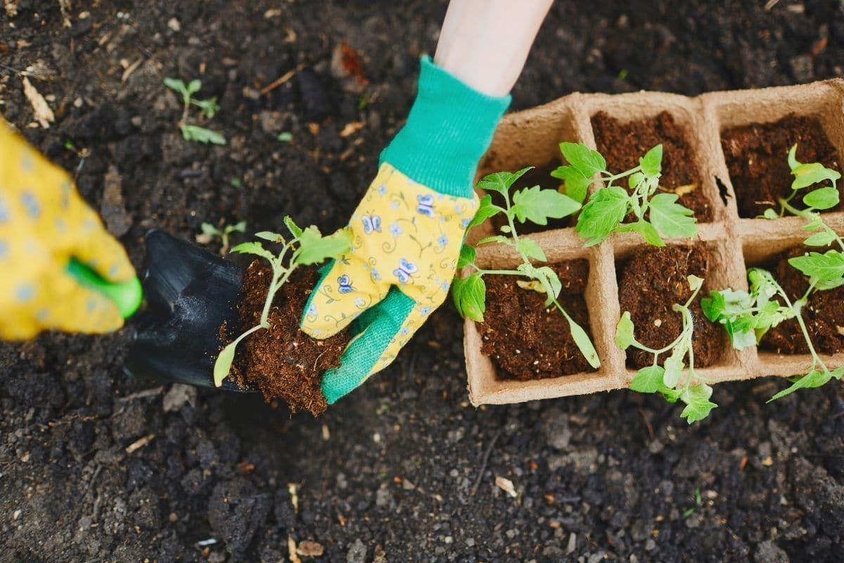 placing the seedling in a dug hole from the container to the garden bed for transplanting
