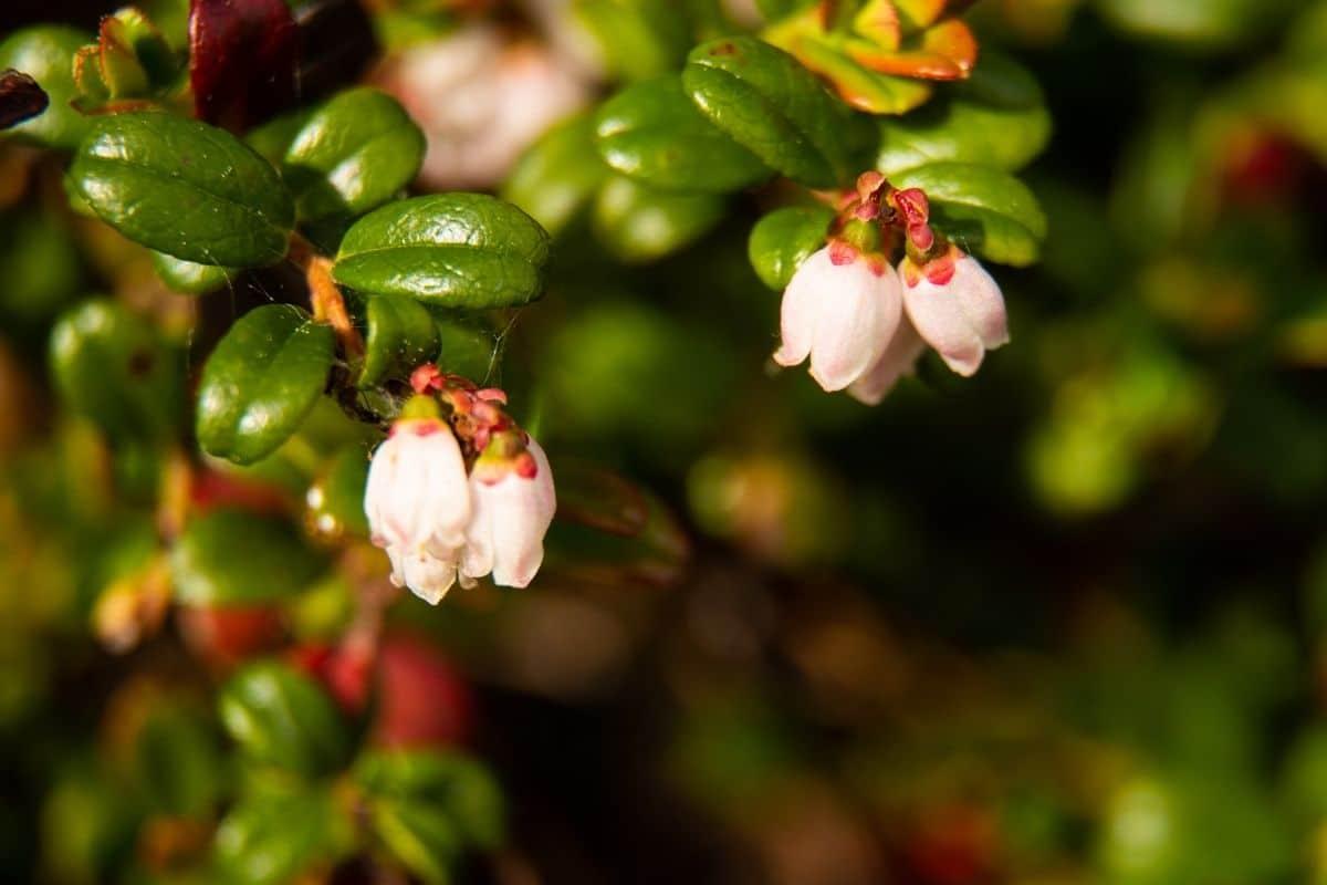 flowers of cranberry plant, flowering cranberry plant