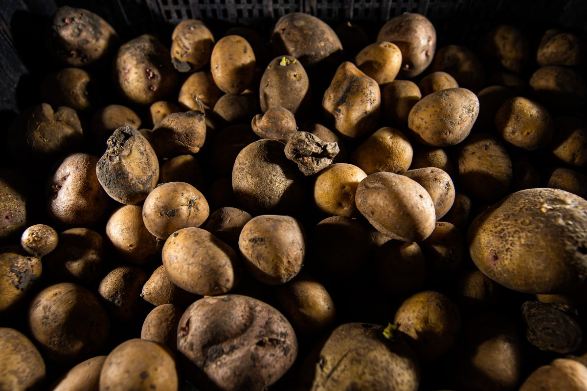an old stock and spoil potato stored in a dark place