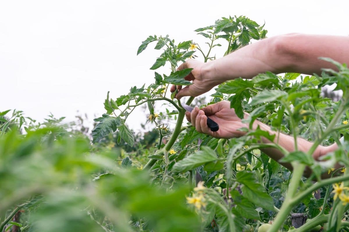 pruning the top branch of the tomato plant