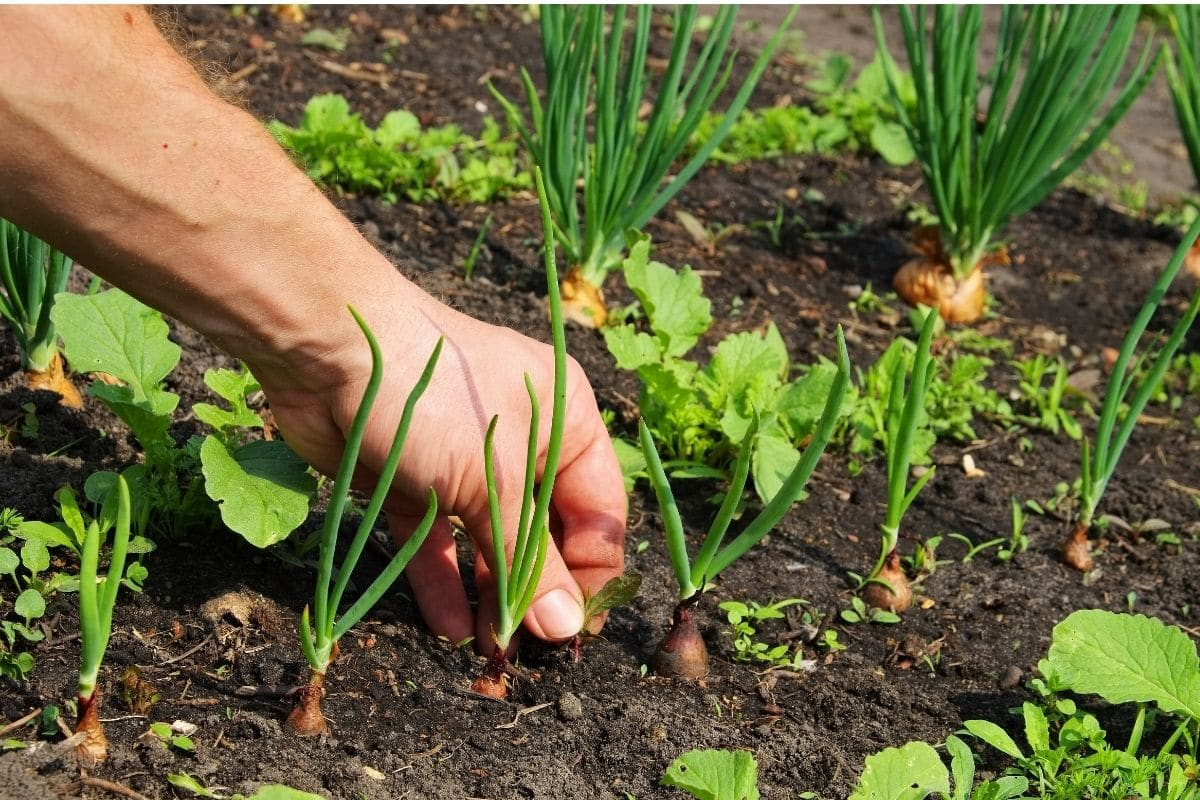 pulling small weeds from the soil of vegetable garden with growing onions, carrots, and lettuces