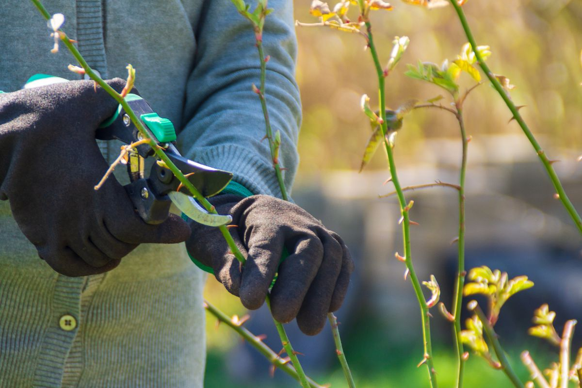 pruning the rose plant in the garden