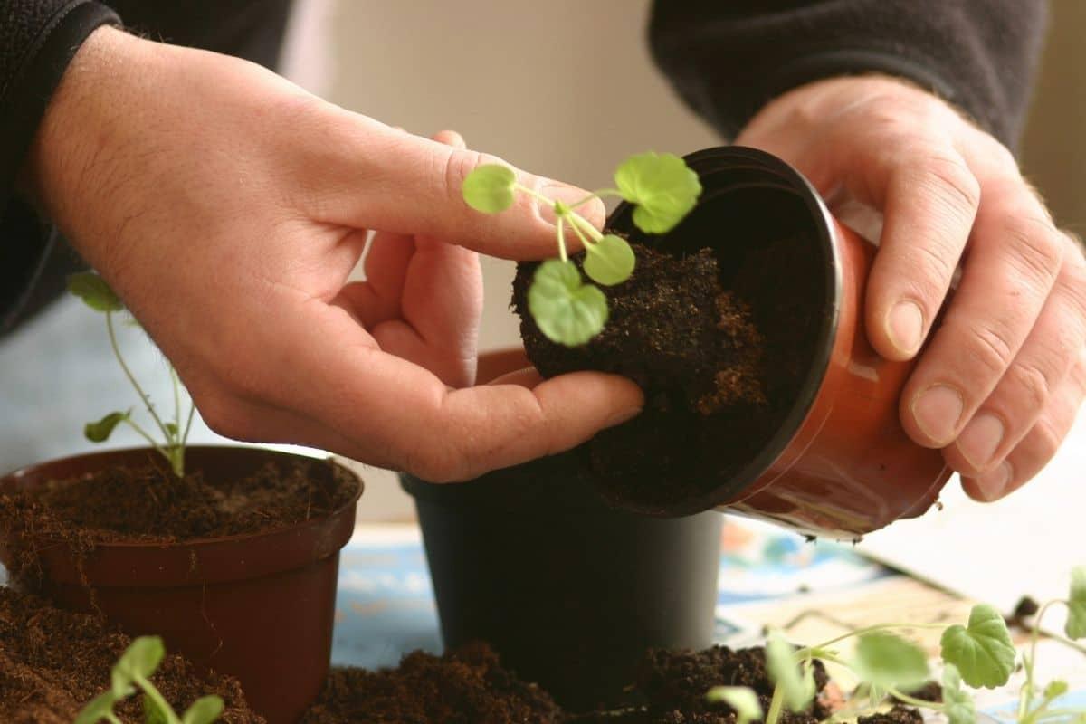 repotting a seedling to a bigger pot