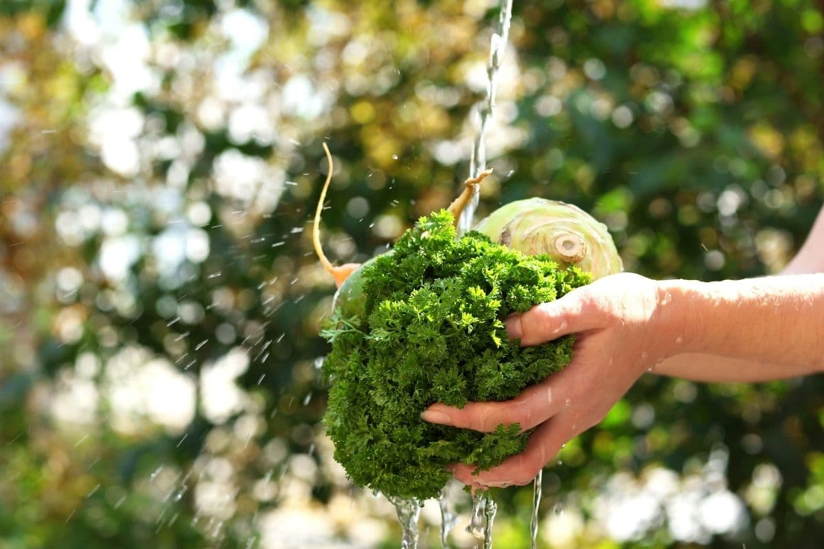 washing harvested vegetables with water in the garden