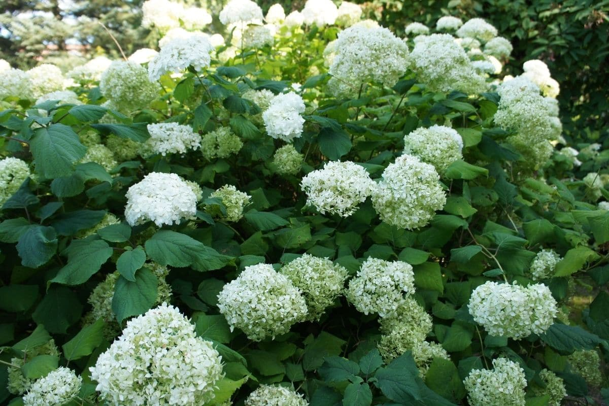 lovely Annabelle Hydrangea shrub with blooming white flowers in the garden