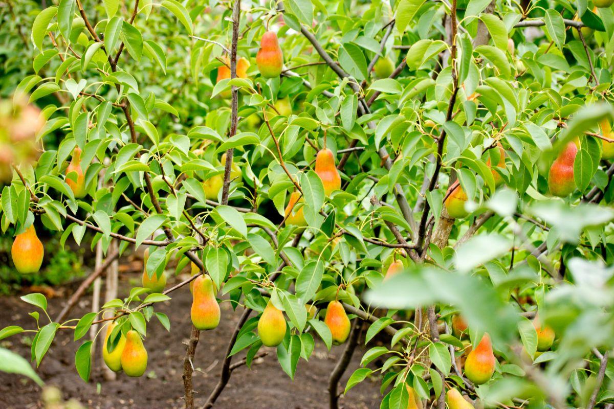 dwarf pears tree in the farm