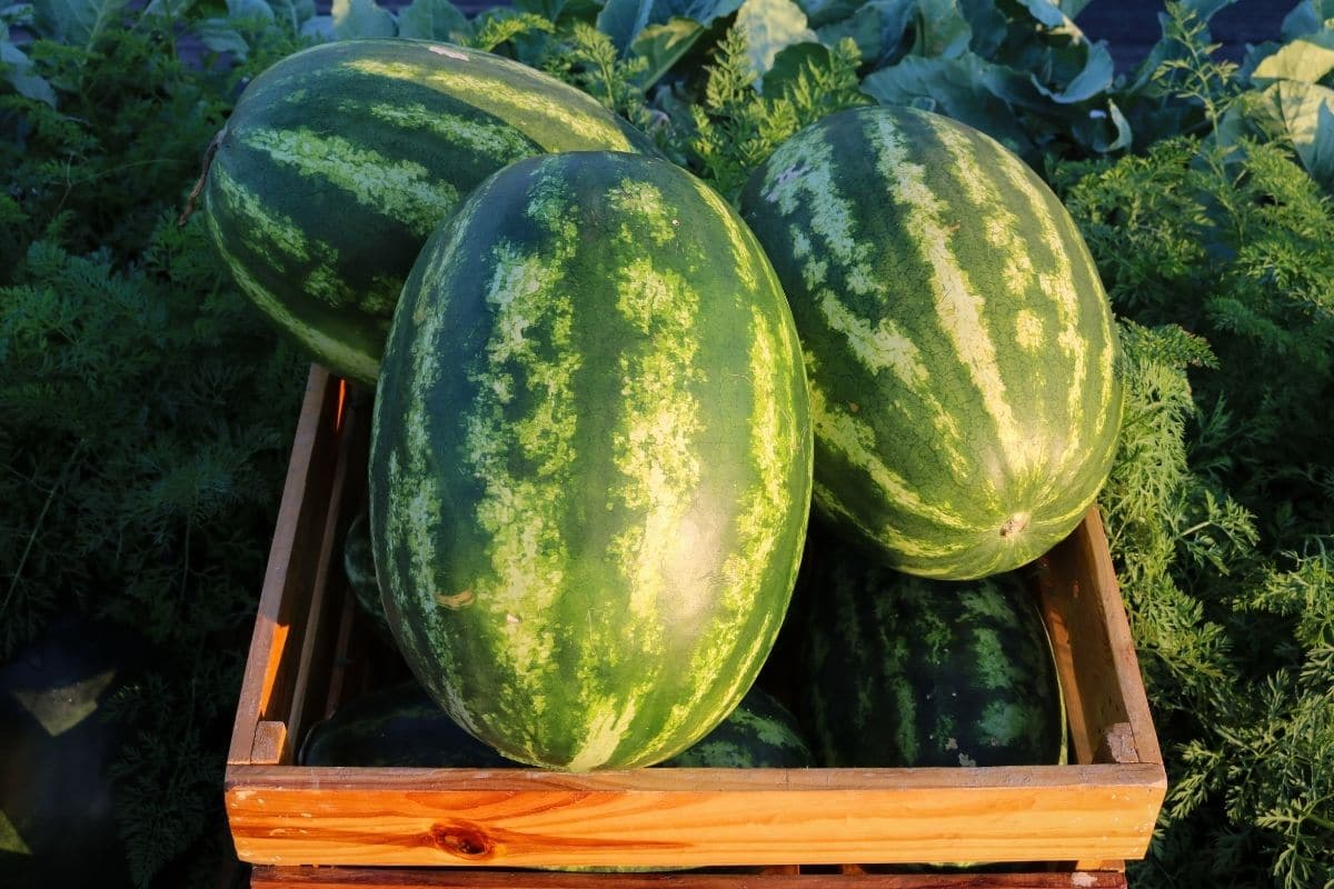 harvested giant watermelon in the garden
