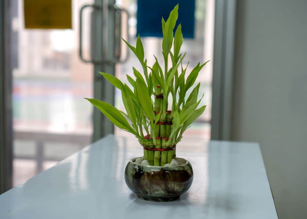 Lucky Bamboo plant on top of the office entrance table