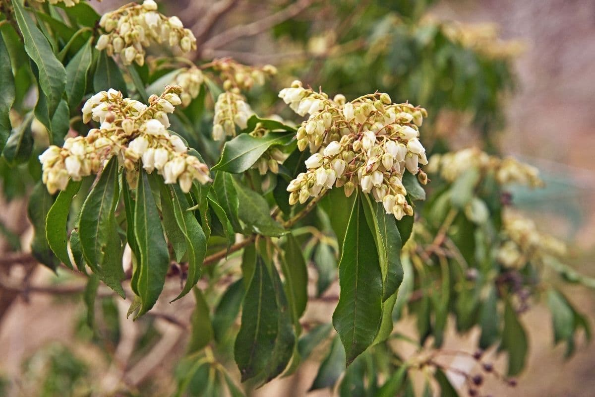 branch of Pieris Japonica shrub with flowers shaped like bells in the garden