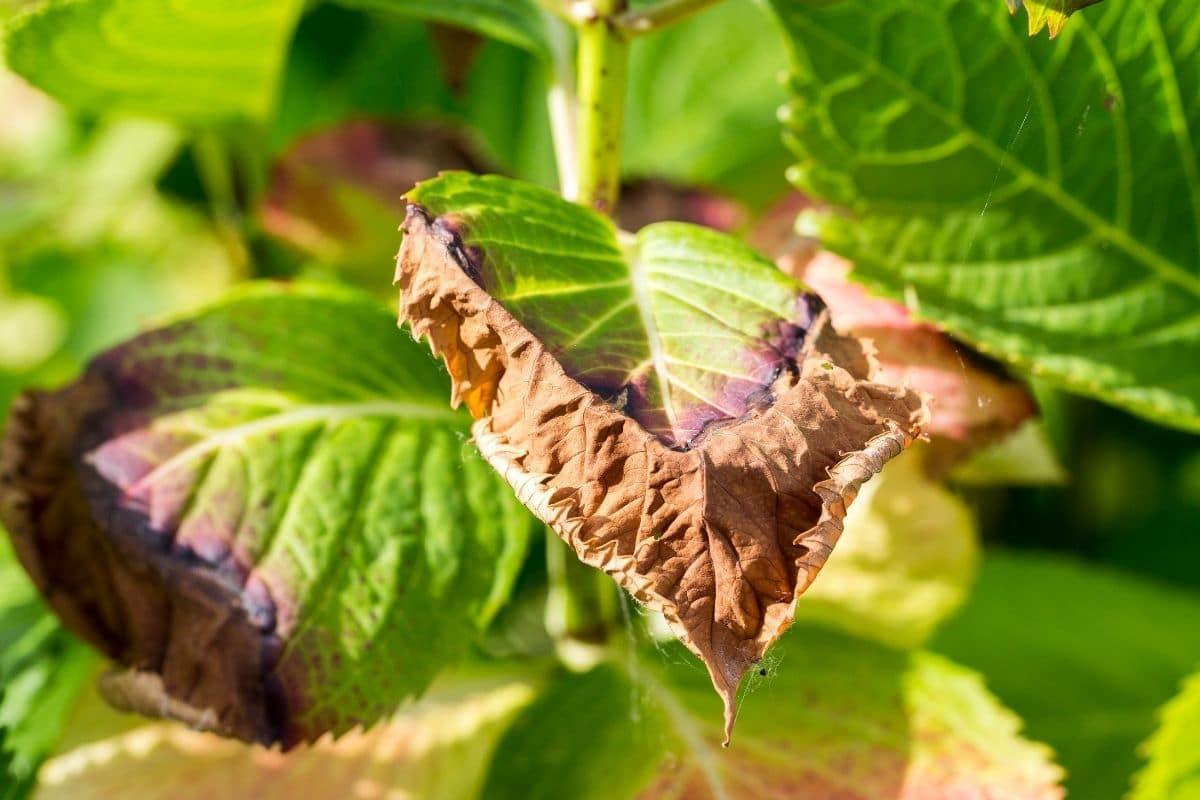 diseased hydrangea leaf
