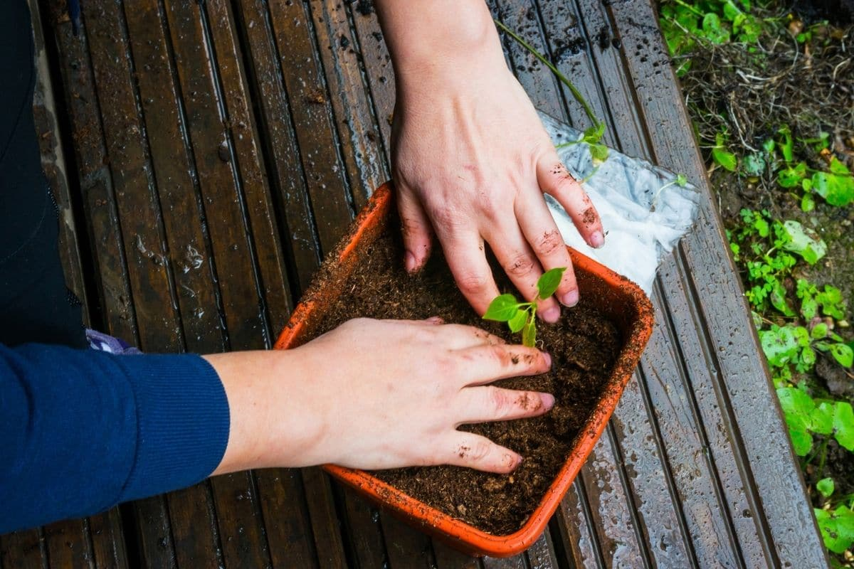 repotting a seedling to bigger square pot outdoors after the rain, pressing the soil with hands