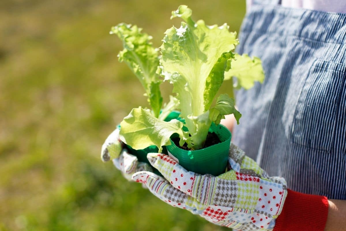 holding a lettuce seedling in a pot in both hands wearing gloves in the garden