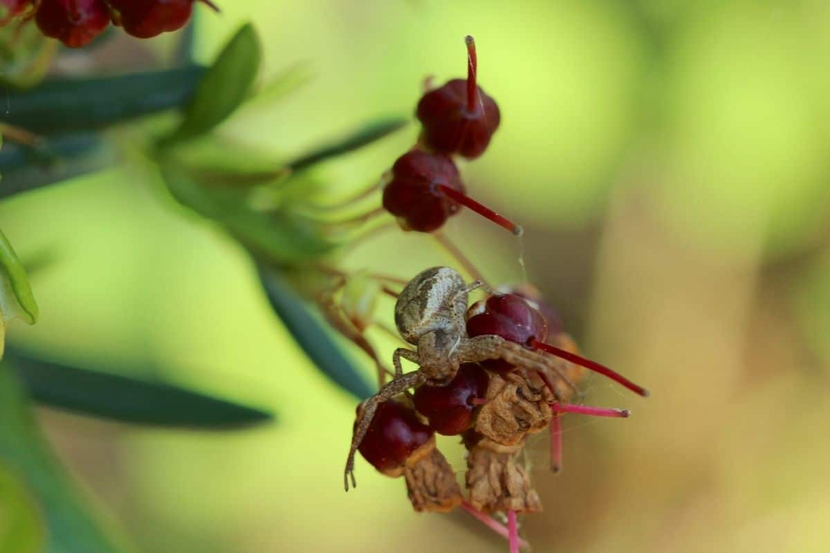 cranberries with crawling spider in the garden