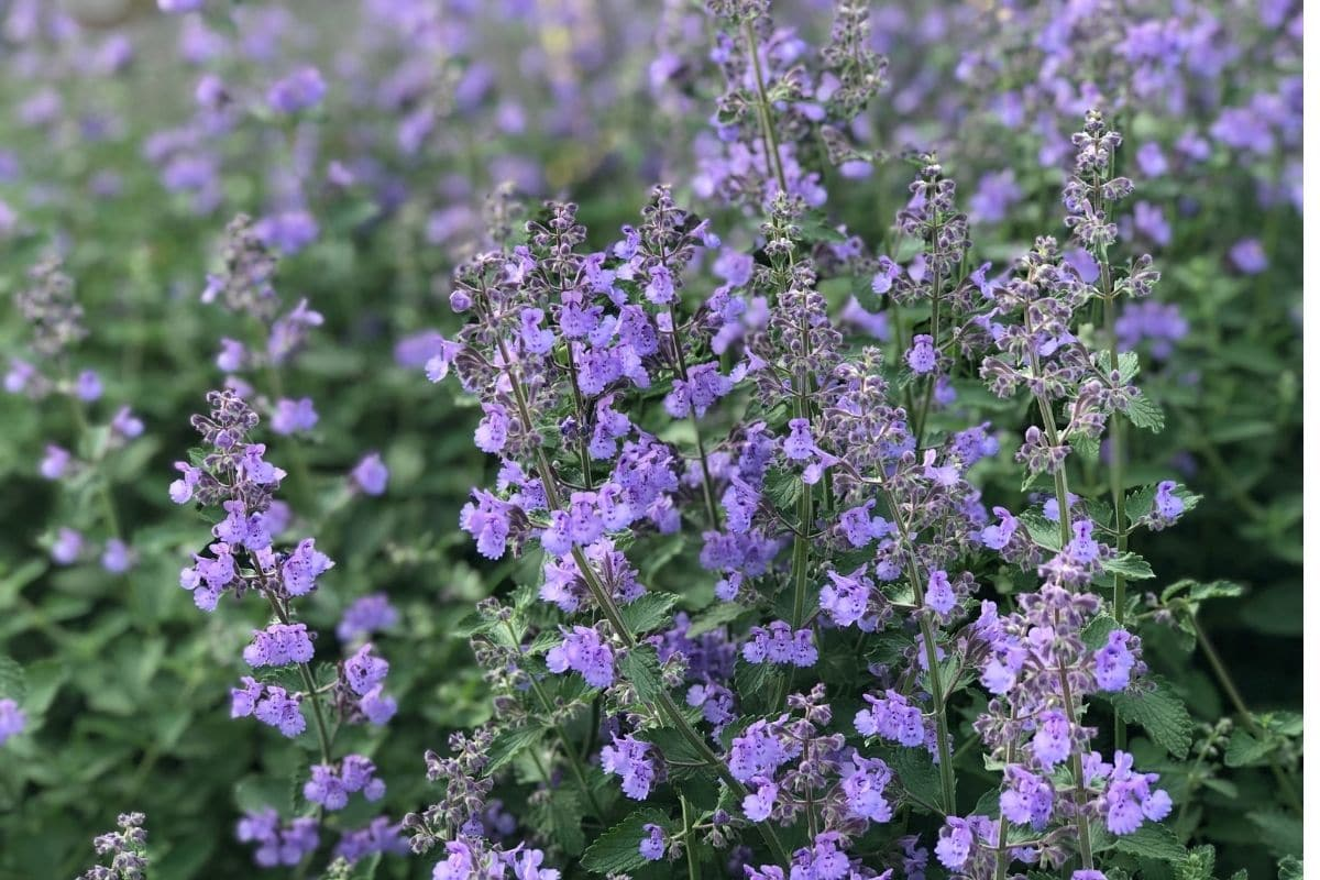Russian Sage field blooming in summer