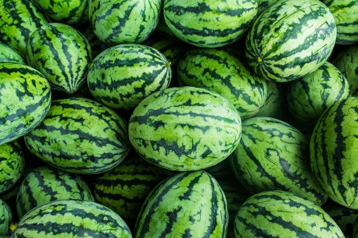 a pile of sweet beauty watermelon variety