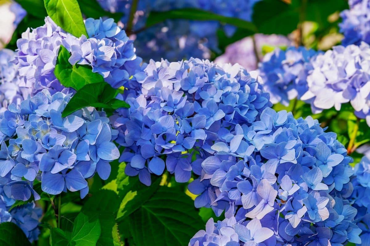 beautiful blue hydrangeas in the garden during summer under the sunlight