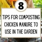 8 Tips for Composting Chicken Manure to Use in the Garden