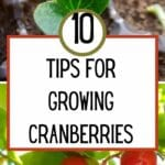 Tips for Growing Cranberries