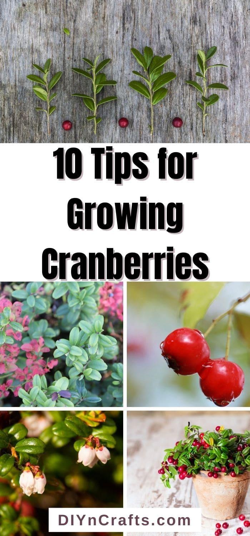 Tips for Growing CranberriesTips for Growing Cranberries