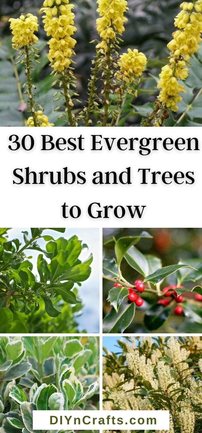 Best Evergreen Shrubs and Trees to Grow
