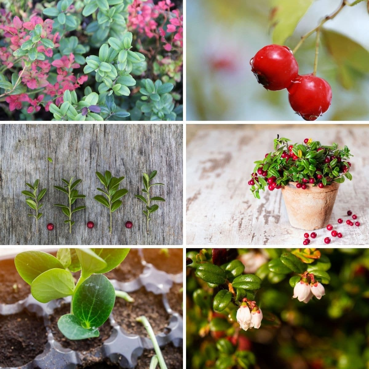 Collage photos featuring cranberry growing tips from the article.