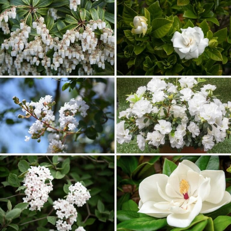 collage of best white shrubs