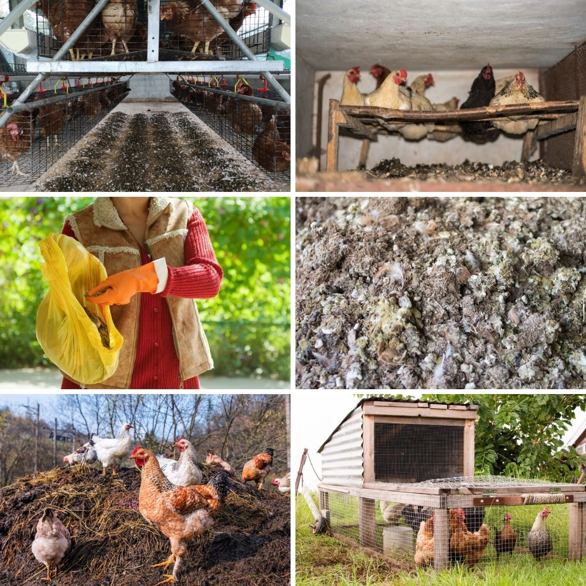 Photo collage featuring chicken manure composting shots.