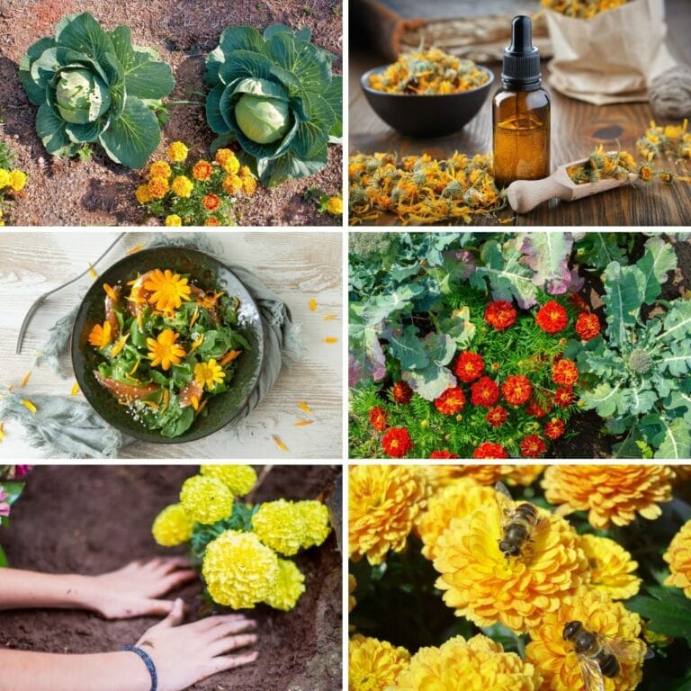 Why You Should Add Marigolds To Your Vegetable Garden