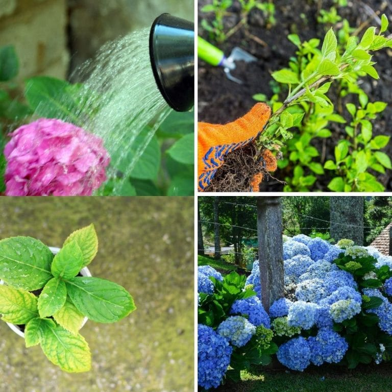 16 Tips for Healthy Hydrangeas