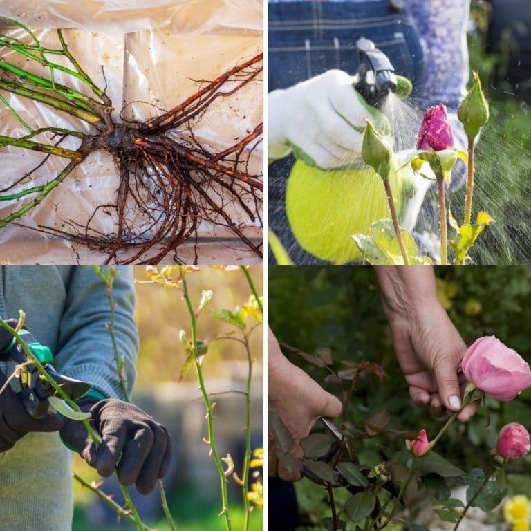 rose gardening tips