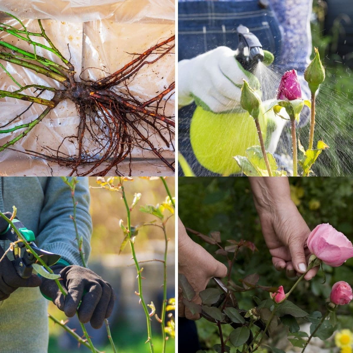 tips for a beautiful rose garden