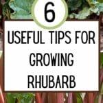 Useful Tips For Growing Rhubarb
