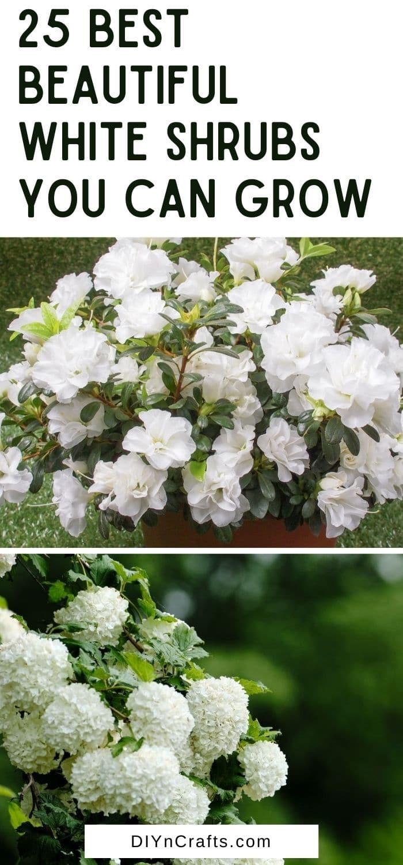 collage of best white shrubs