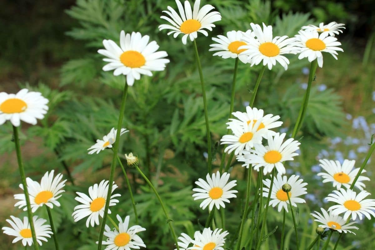 Daisy flowers blooming in the garden