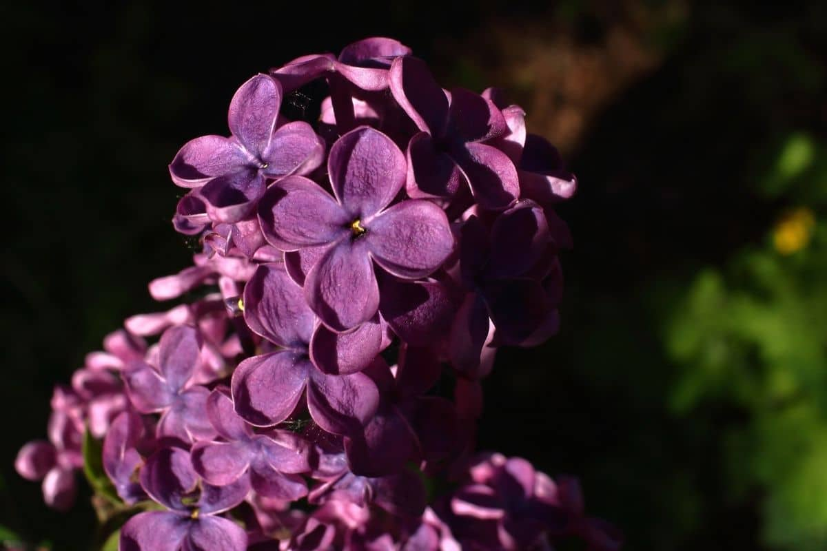 purple flowers of Lilacs in the morning