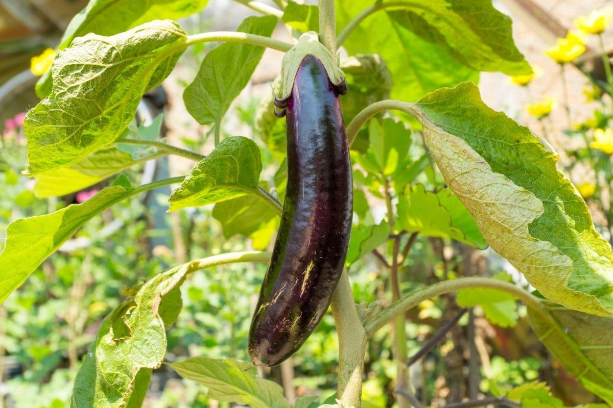 eggplant hanging in the garden ready to harvest