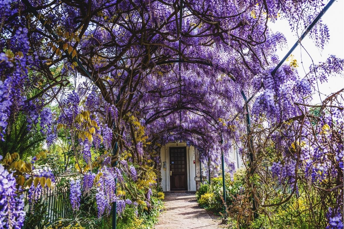 arched arbor pathway going to the front door with growing purple Wisteria flowers