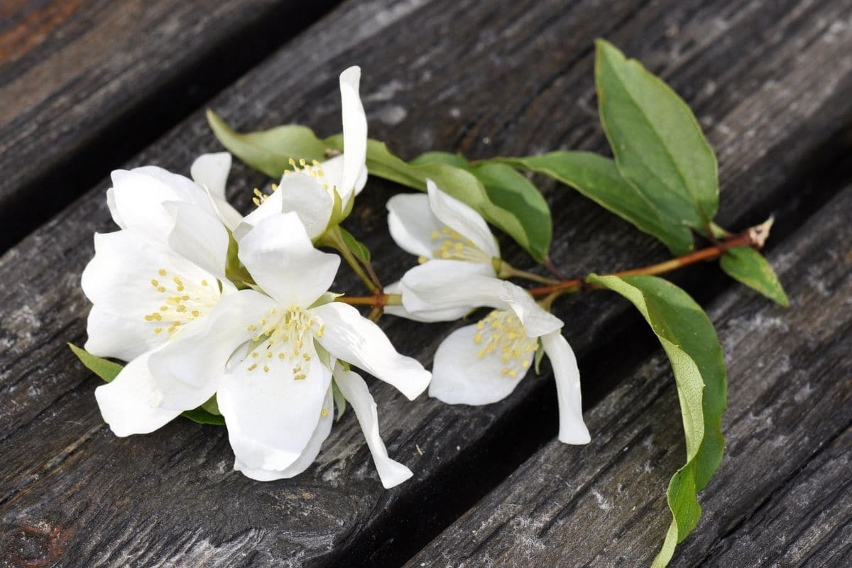 a picked branch of Mock Orange with white flowers and green leaves