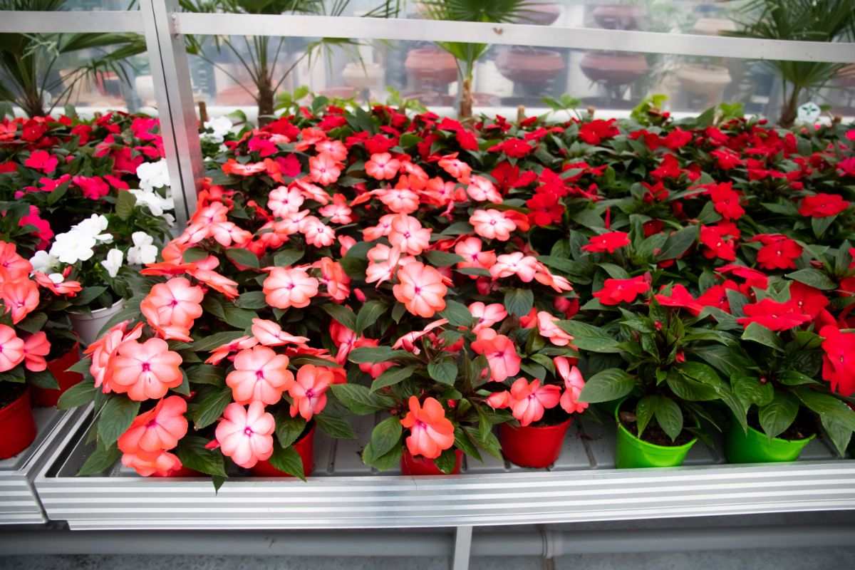 red potted Begonia flowering seedlings in a row in the greenhouse