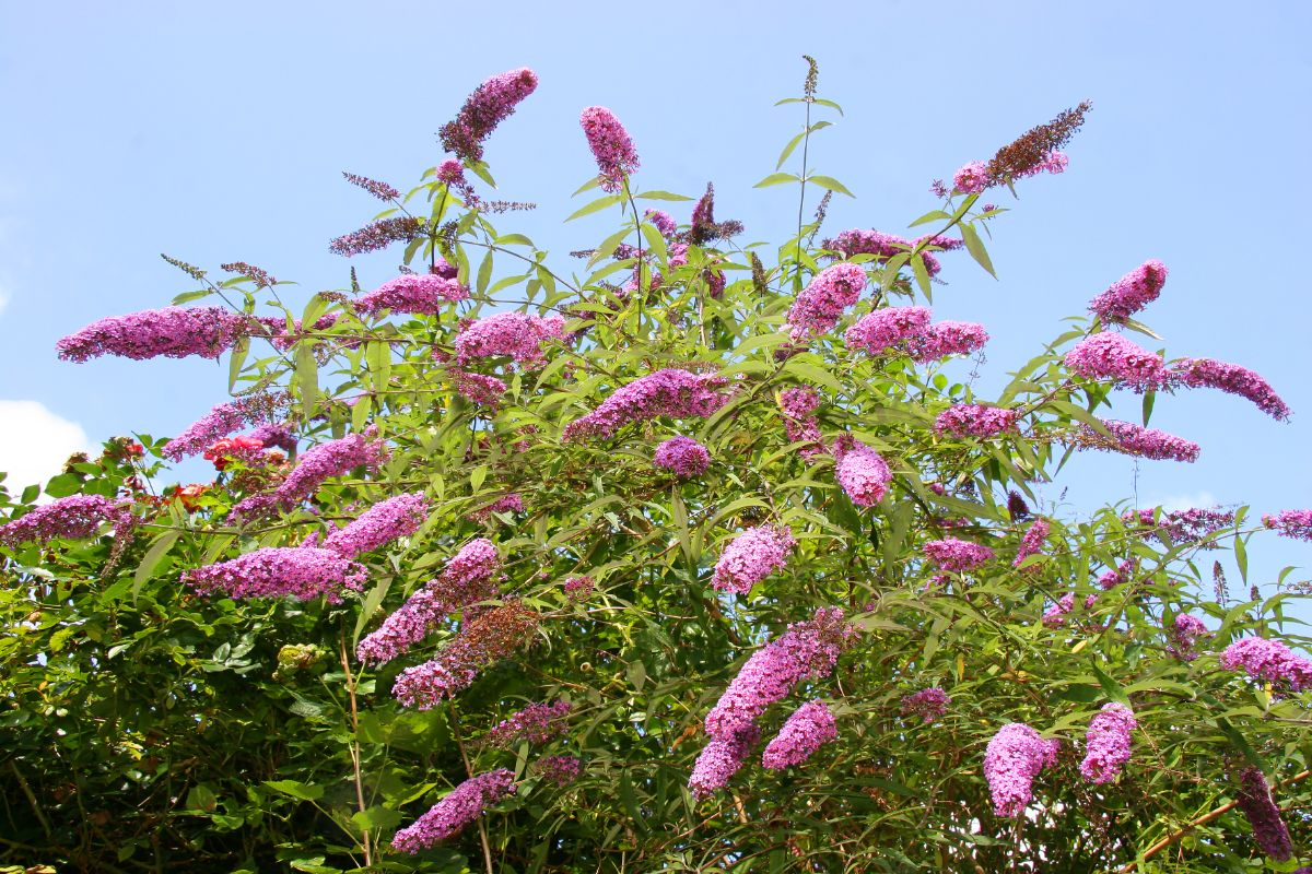 Butterfly Bush with purple flowers against the sky
