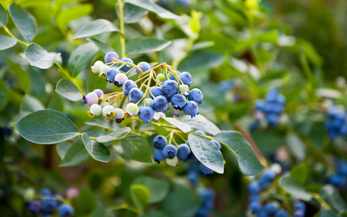 branch of a highbush blueberry plant with fruits in the garden