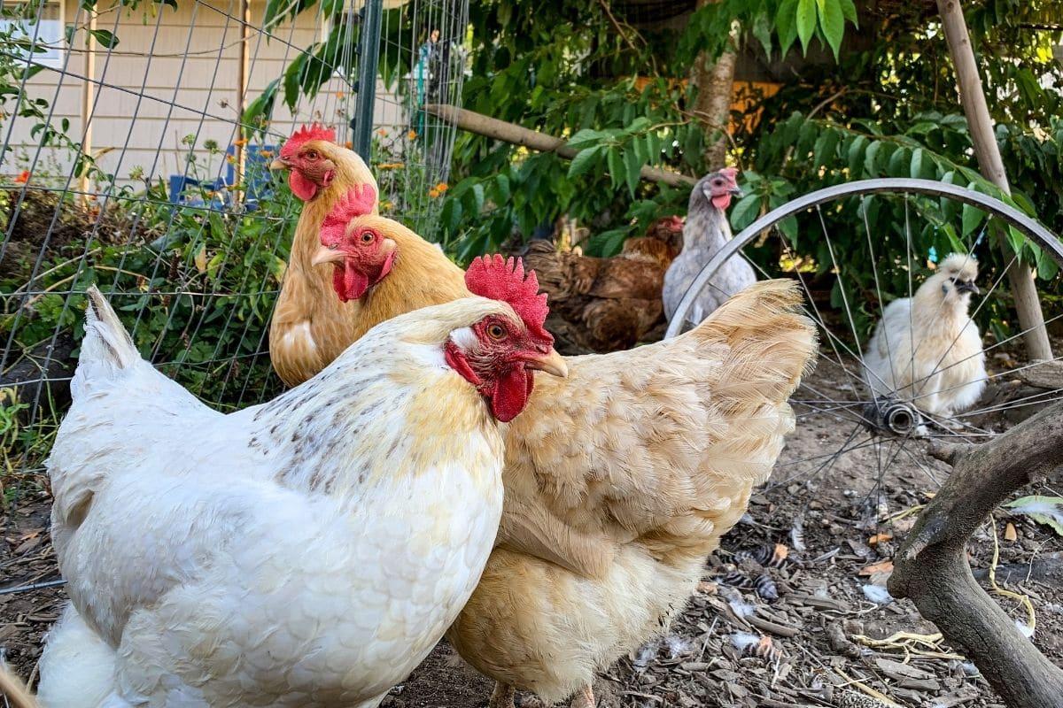 flock of chicken walking in the garden