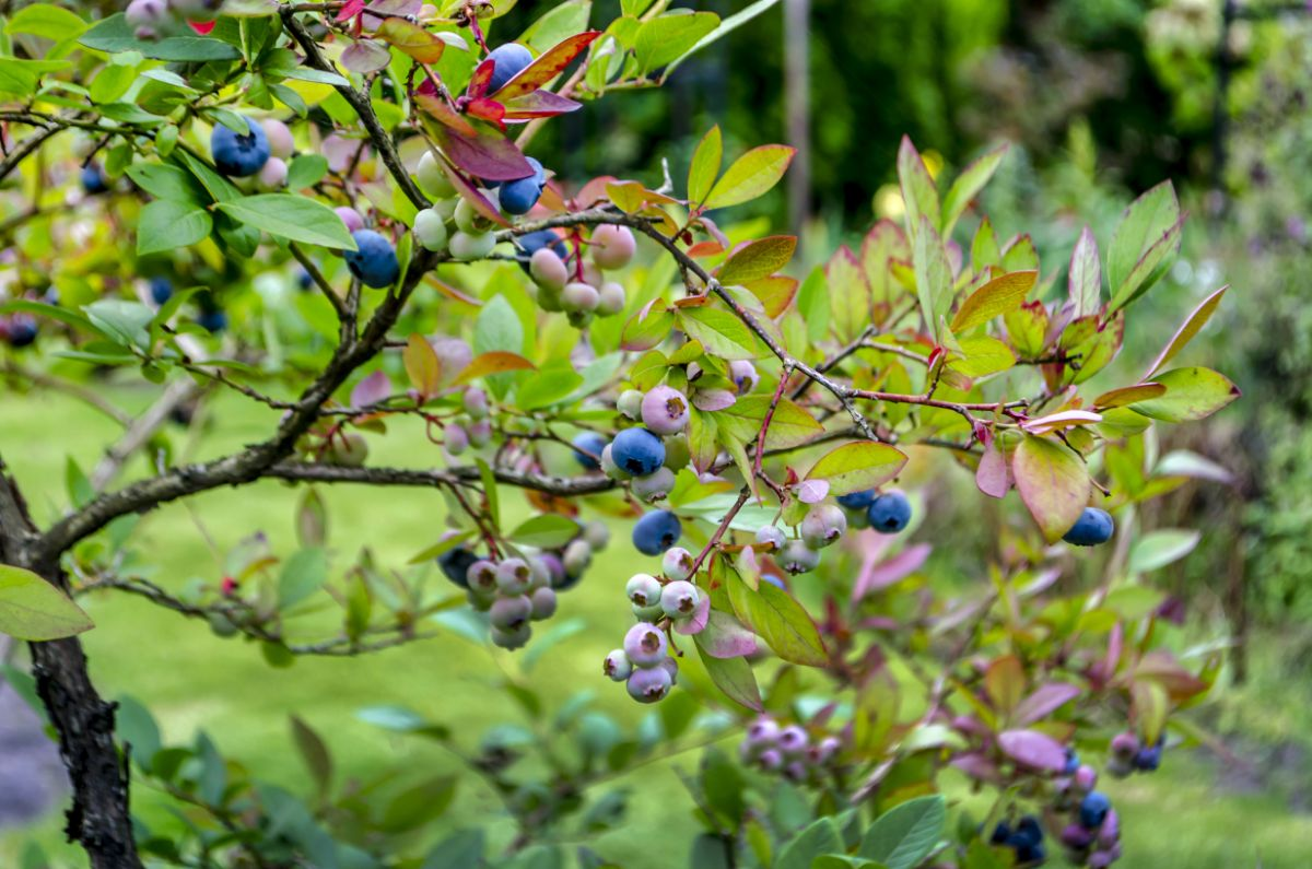 Blueberry bush with purple fruits in the garden