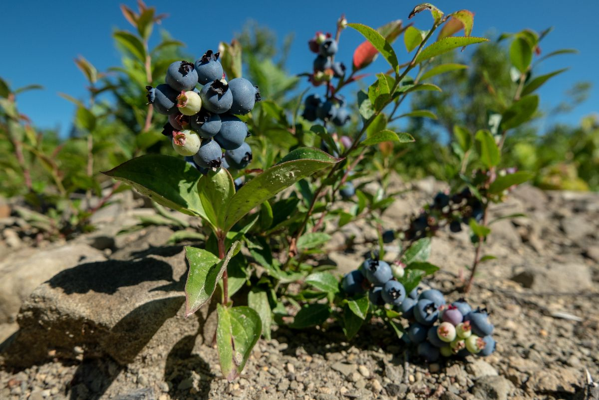 lowbush variety of blueberry with fruits and green leaves in the garden under the sunlight