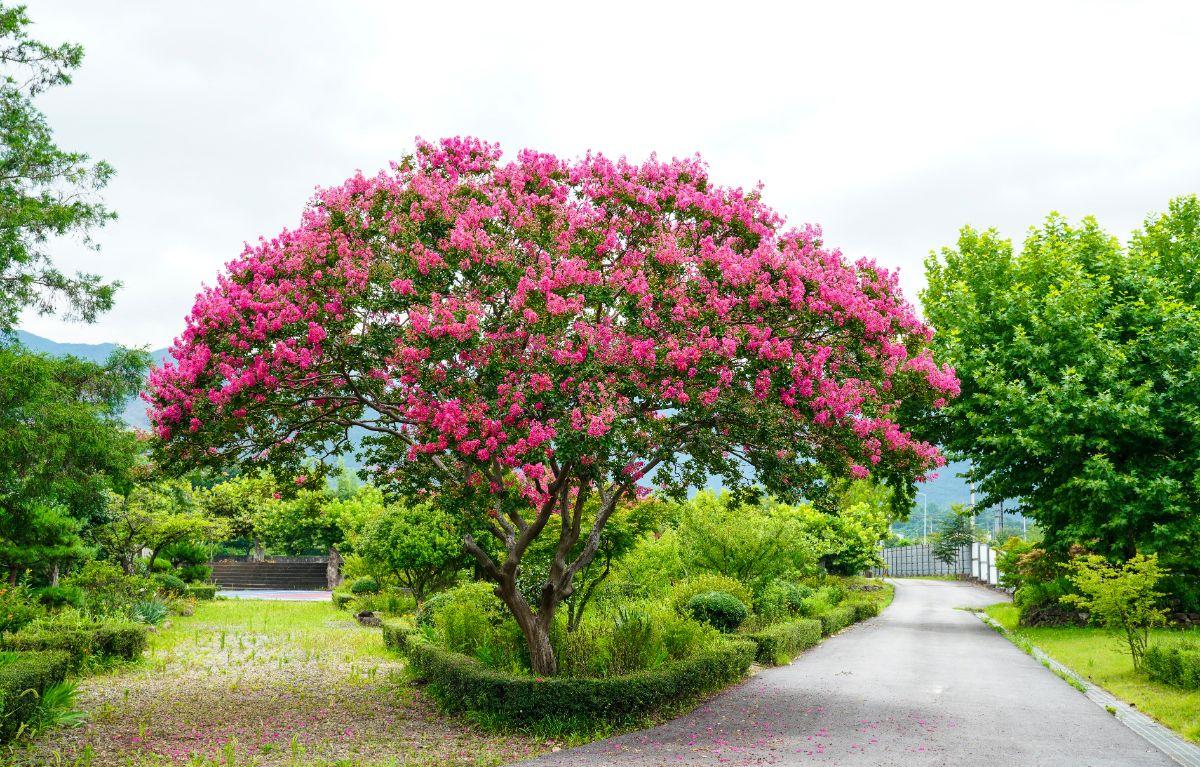 Crape Myrtle tree with pink flowers at the park