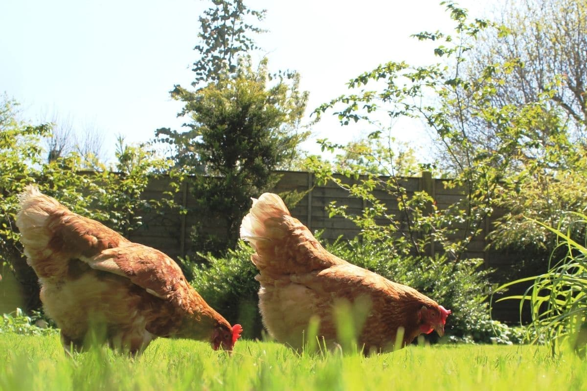 two chicken eating grass in the lawn