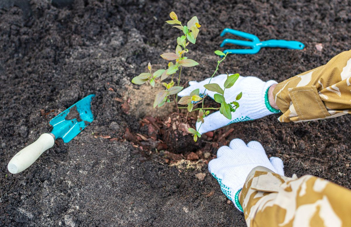 hand of a gardener wearing gloves planting blueberry sapling in the soil with gardening tools