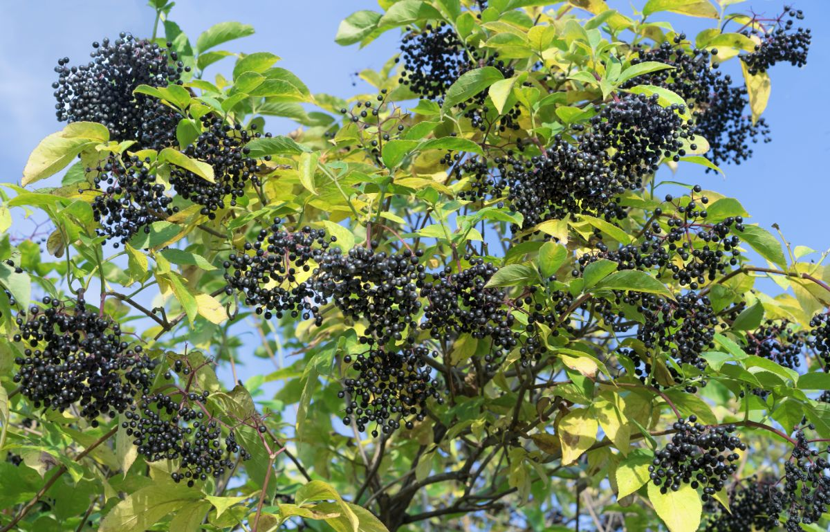 Elderberry bush with fruits against the sky
